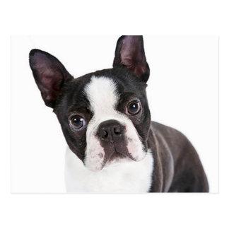 Perro de perrito de Boston Terrier del amor Postales