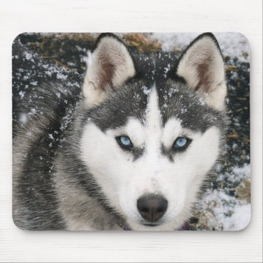 Perro de perrito del husky siberiano en la nieve M Tapetes De Ratones