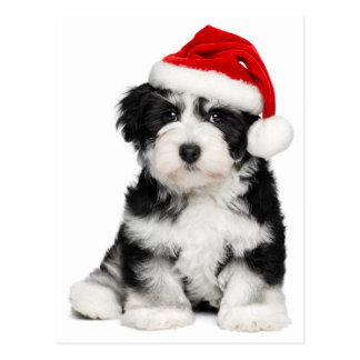 Perro de perrito lindo de Havanese del navidad 2 Tarjeta Postal