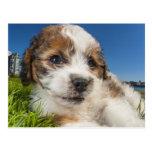 Perro de perrito lindo (Shitzu) Postal