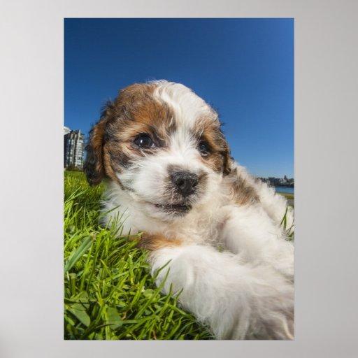 Perro de perrito lindo (Shitzu) Póster