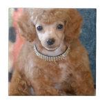 Perro de perrito mullido del caniche del albaricoq azulejo