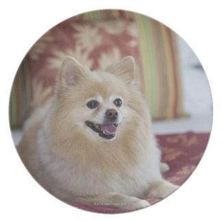 Perro de Pomeranian en la habitación amistosa del Plato Para Fiesta