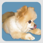 Perro de Pomeranian que pega la lengua hacia fuera Pegatina Cuadrada