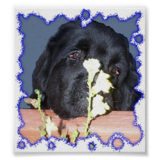Perro de Terranova Póster