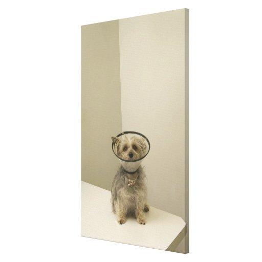 Perro de Terrier que lleva el cuello protector Impresiones En Lienzo Estiradas