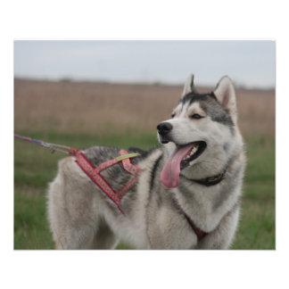 """Perro de trineo del husky siberiano folleto 4.5"""" x 5.6"""""""