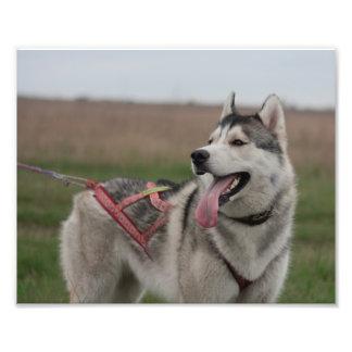 Perro de trineo del husky siberiano foto