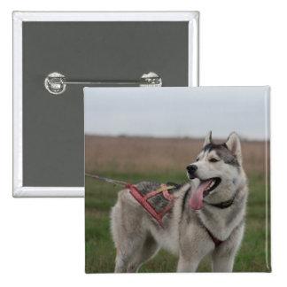Perro de trineo del husky siberiano chapa cuadrada 5 cm