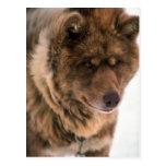 Perro de trineo esquimal postal
