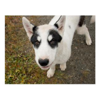 Perro de trineo groenlandés famoso, perrito blanco postal