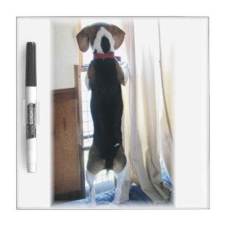 Perro del beagle que mira hacia fuera al tablero pizarras