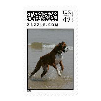 Perro del boxeador en agua estampilla