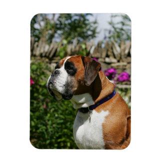 Perro del boxeador en las flores imanes de vinilo