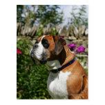 Perro del boxeador en las flores postal