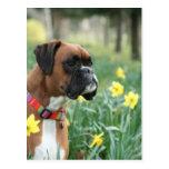Perro del boxeador en narcisos postal