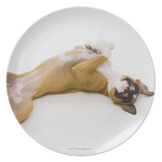 Perro del boxeador que pone en ella detrás en el platos