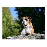 Perro del boxeador que pone en una roca tarjeta postal