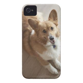 Perro del corgi del Pembroke Galés que miente en e Case-Mate iPhone 4 Funda