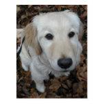 Perro del golden retriever - los colores de la postal