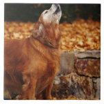 Perro del golden retriever que grita en la trayect azulejo