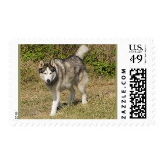 Perro del husky siberiano estampillas