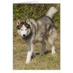Perro del husky siberiano felicitaciones