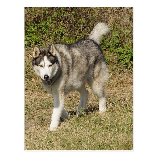 Perro del husky siberiano postales