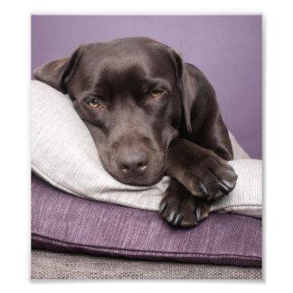 Perro del labrador retriever del chocolate soñolie cojinete