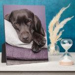 Perro del labrador retriever del chocolate soñolie placas para mostrar