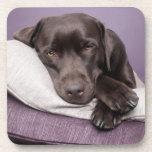 Perro del labrador retriever del chocolate soñolie posavasos
