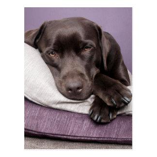 Perro del labrador retriever del chocolate soñolie postales