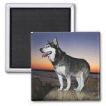 Perro del Malamute de Alaska en la puesta del sol Iman Para Frigorífico