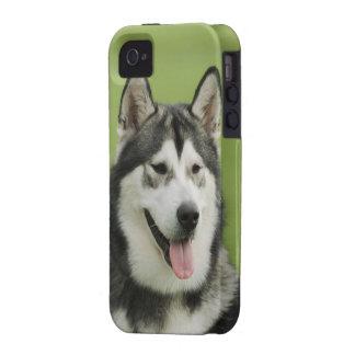 Perro del Malamute de Alaska Vibe iPhone 4 Carcasas