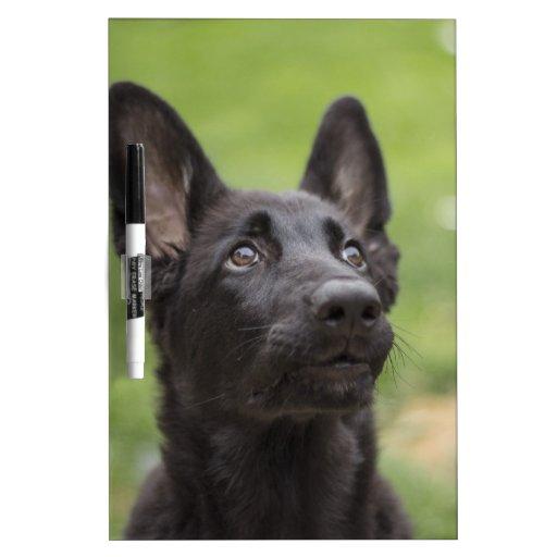 Perro del pastor alemán (Alsation) Pizarras Blancas De Calidad