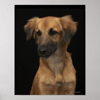Perro del resuce de Brown con la nariz negra en ne Póster