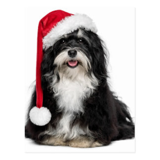 Perro divertido de Havanese del navidad con el Postales