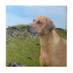 Perro dulce de Rhodesian Ridgeback Azulejos