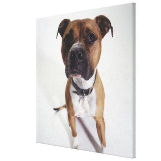 Perro, el sentarse de Staffordshire Terrier americ Impresiones De Lienzo