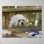 Perro en la mesa de picnic póster