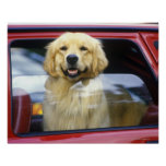 Perro en ventanilla del coche roja póster