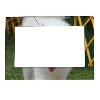 Perro esquimal americano adorable marcos magneticos de fotos
