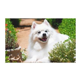 Perro esquimal americano que miente en la impresiones de lienzo