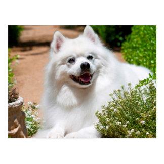Perro esquimal americano que miente en la tarjetas postales
