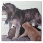 Perro esquimal con la litera de perritos azulejo cuadrado grande