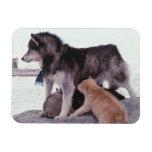 Perro esquimal con la litera de perritos imanes