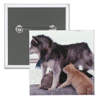 Perro esquimal con la litera de perritos pin cuadrado