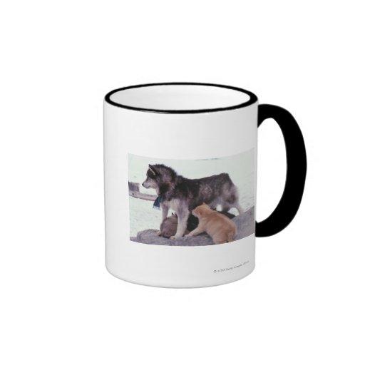 Perro esquimal con la litera de perritos tazas de café