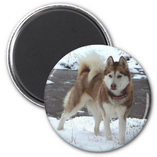 Perro esquimal de la nieve imanes para frigoríficos