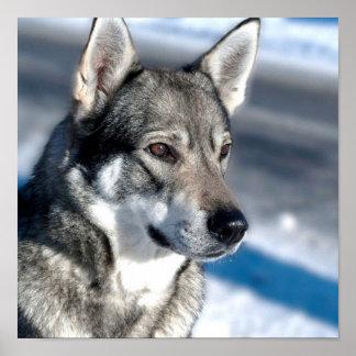 Perro esquimal en poster de la nieve